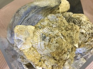 fossili ridimens